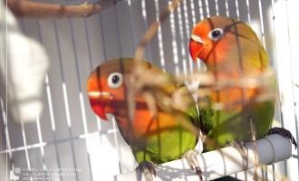 牡丹鹦鹉:童年的补偿