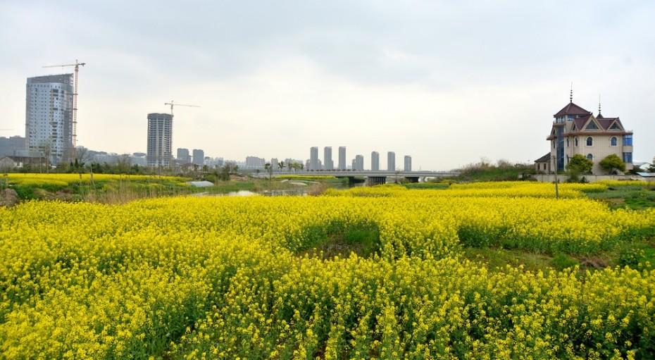 南郊:被蚕食的油菜花